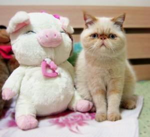 《怎样快速辨别好的加菲猫? 》